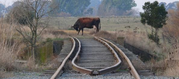 Rund op het spoort bij Tres Arroyos, provincie Buenos Aires, Argentinië.